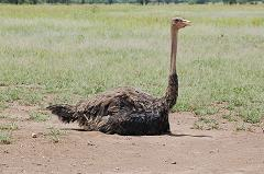 female ostrich incubating eggs