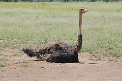 female ostrich incubating eggs