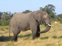 african elephant in botswana