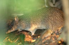 bandicoot in the grass at night