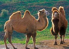 camel ship of the desert