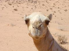How Does a Camel Keep Sand Out of Its Eyes With Three Eyelids and Long Eyelashes?