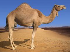 camel hump