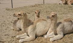 camel calves in dubai