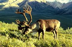 caribou in the wild
