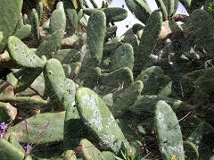 cochineal on cacti in La Palma