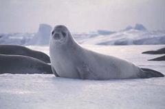 cute crabeater seal