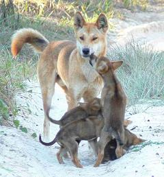 dingo with pups