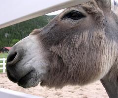 donkey bray