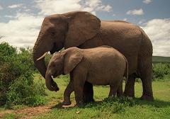 elephants do not eat peanuts