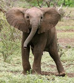 Why Are Elephant Ears So Big and Do Elephants Have Bigger Ears to Hear Better?