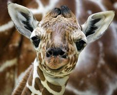How Does a Giraffe Give Birth to Its Offspring and How Big Is a Baby Giraffe When It's Born?