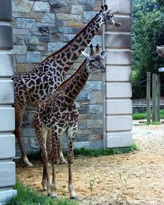 jana the giraffe