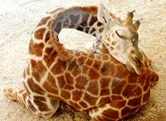 giraffe sleeping