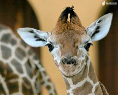 How Many Different Types of Giraffe Species Are There On Earth and What Are They Called?