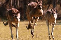 kangaroos hopping