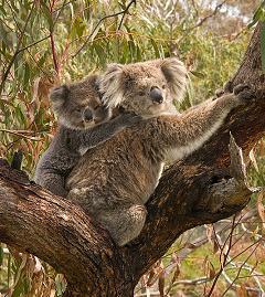 koala bear and joey