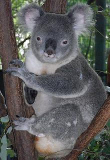 Where Do Koala Bears Live and Why Are They Not Really Bears?