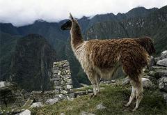 llama near ruins
