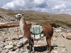 llama carrying a load