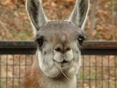llamas spit when threatened