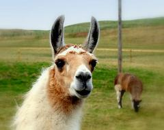 llamas eat hay grass and grain
