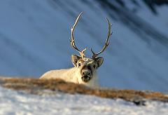 How Did Reindeer Get Their Name, Where Do They Live, and What Do Reindeer Eat?