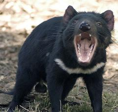 tasmanian devil screaming