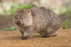 wombat in australia