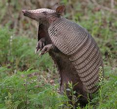 Where Do Armadillos Come From