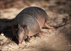 Are Armadillos Poisonous