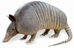 How Did the Armadillo Get its Name