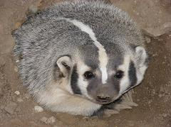 How Did the Badger Get its Name