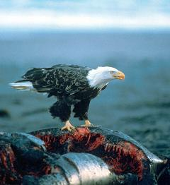 bald eagles are opportunistic scavengers