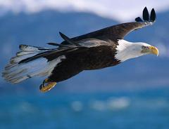 bald eagles do not mate in mid-air
