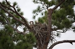 Where Do Bald Eagles Build Their Nests and How Long Does It Take a Bald Eagle to Build a Nest?