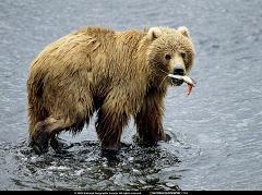 bear-01