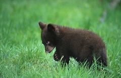 Where Do Black Bears Live