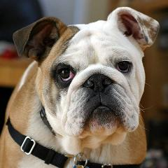 bulldog purebreed