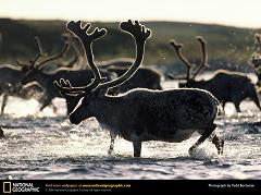 What is the Difference Between a Caribou and a Reindeer