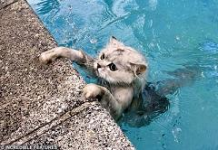 Why Do Cats Hate Water So Much and Which Cat Species Can Swim In Water to Catch Fish?