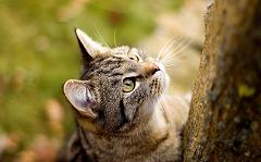 Why Do Cats Love to Climb Trees and Refuse to Come Down and Which Cat Actually Lives In Trees?