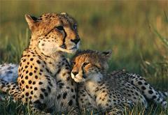 cheetahs purr