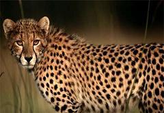 cheetahs have big claws