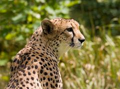 cheetahs are an endangered species