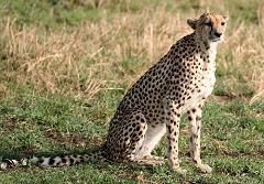 cheetahs are the oldest living cat species