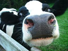 How Much Milk Does a Cow Produce In Its Entire Career as a Dairy Cow and How Long Do They Live For?