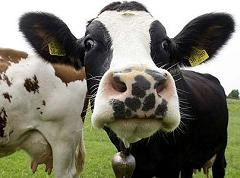 How Much Methane Do Cows Produce Every Day