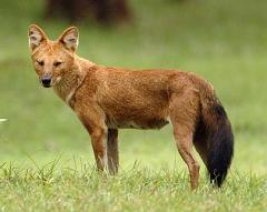dhole in the wild