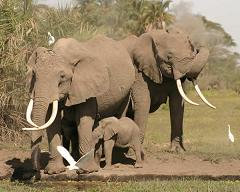 elephants communicate with low frequency sounds